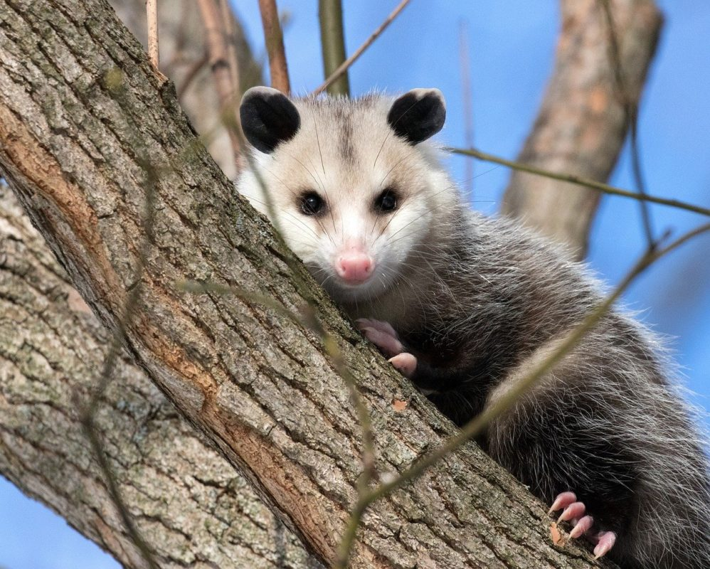 Opossum up in a tree